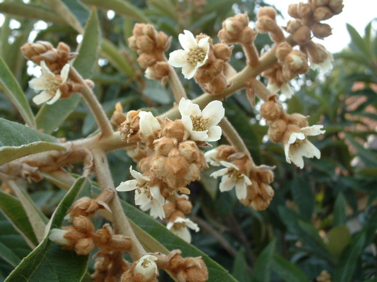 This cultivar is developed for home growing, The flowers open gradually and the fruit follows suit. This makes the fruit available over a longer period of time.