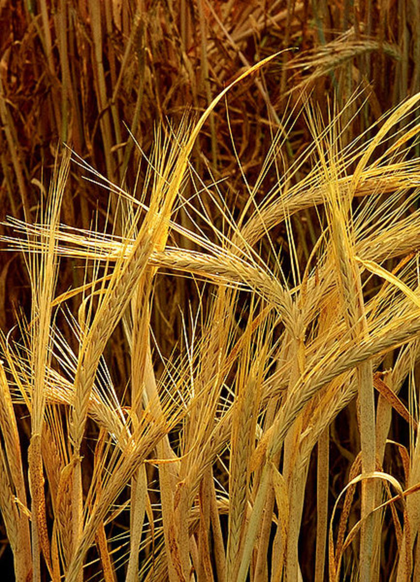 Barley ears.