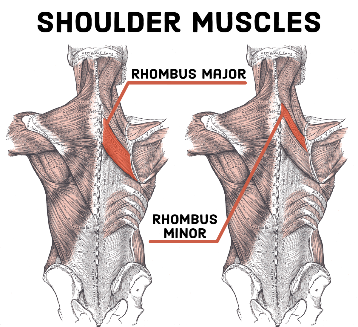 When you feel as though your shoulders are strained, these are the two muscles that are in pain.