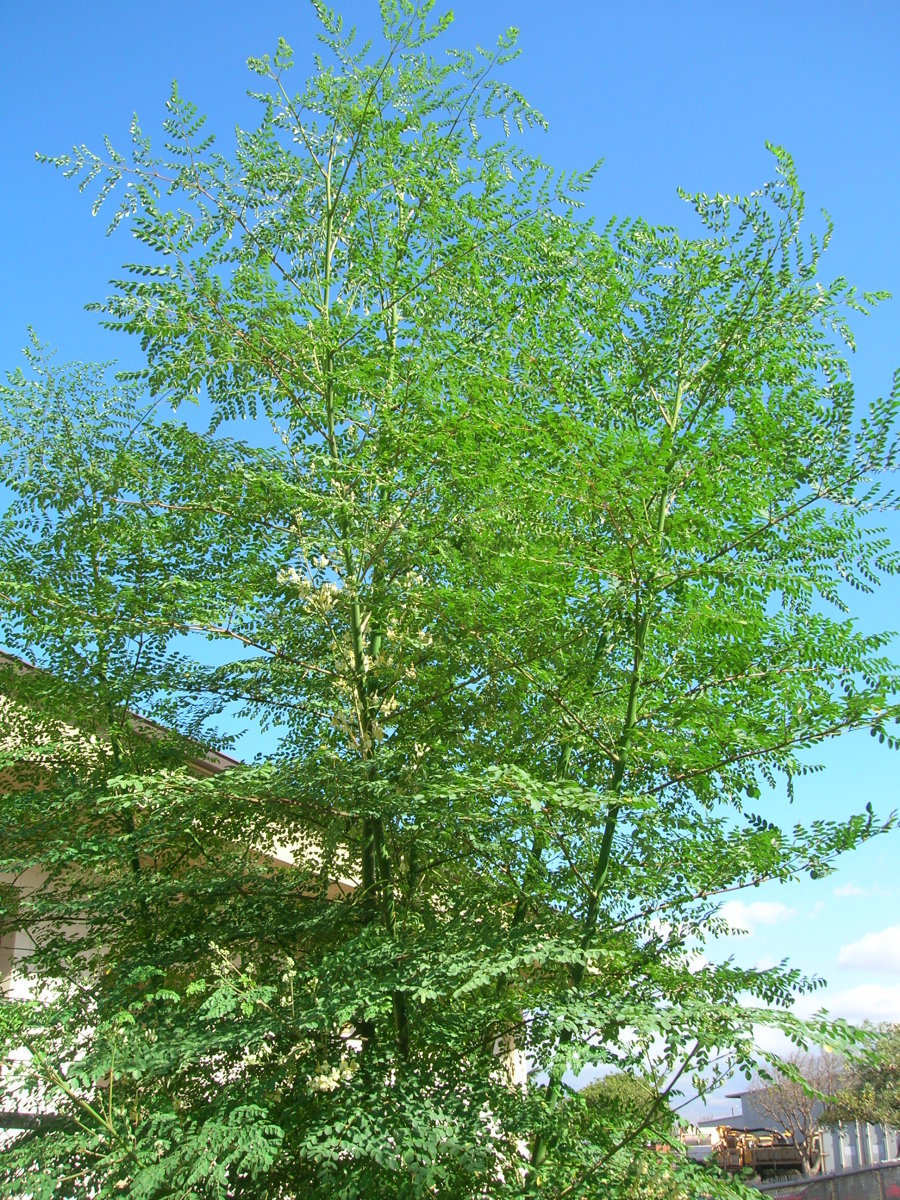 Moringa oleifera Or Sahjan Tree