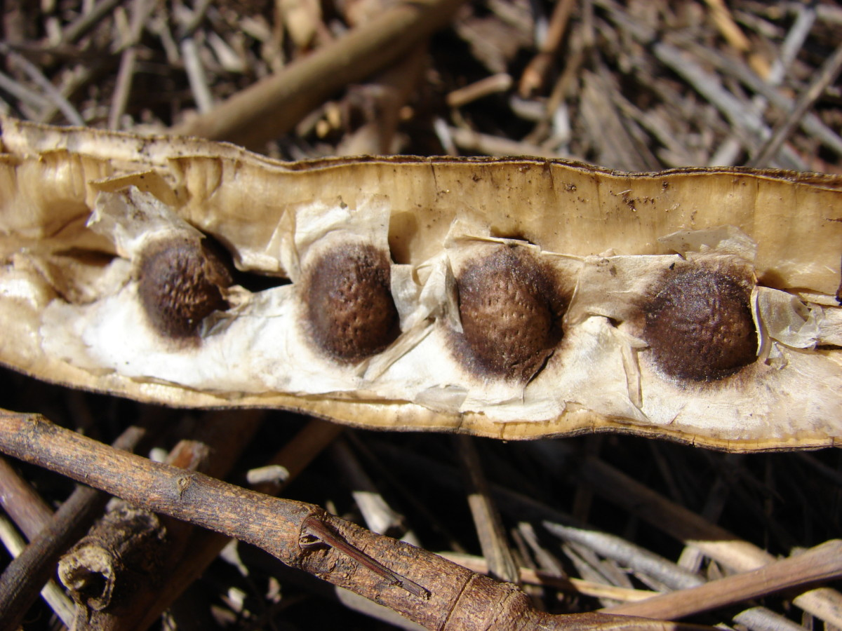 Mature Moringa Seeds
