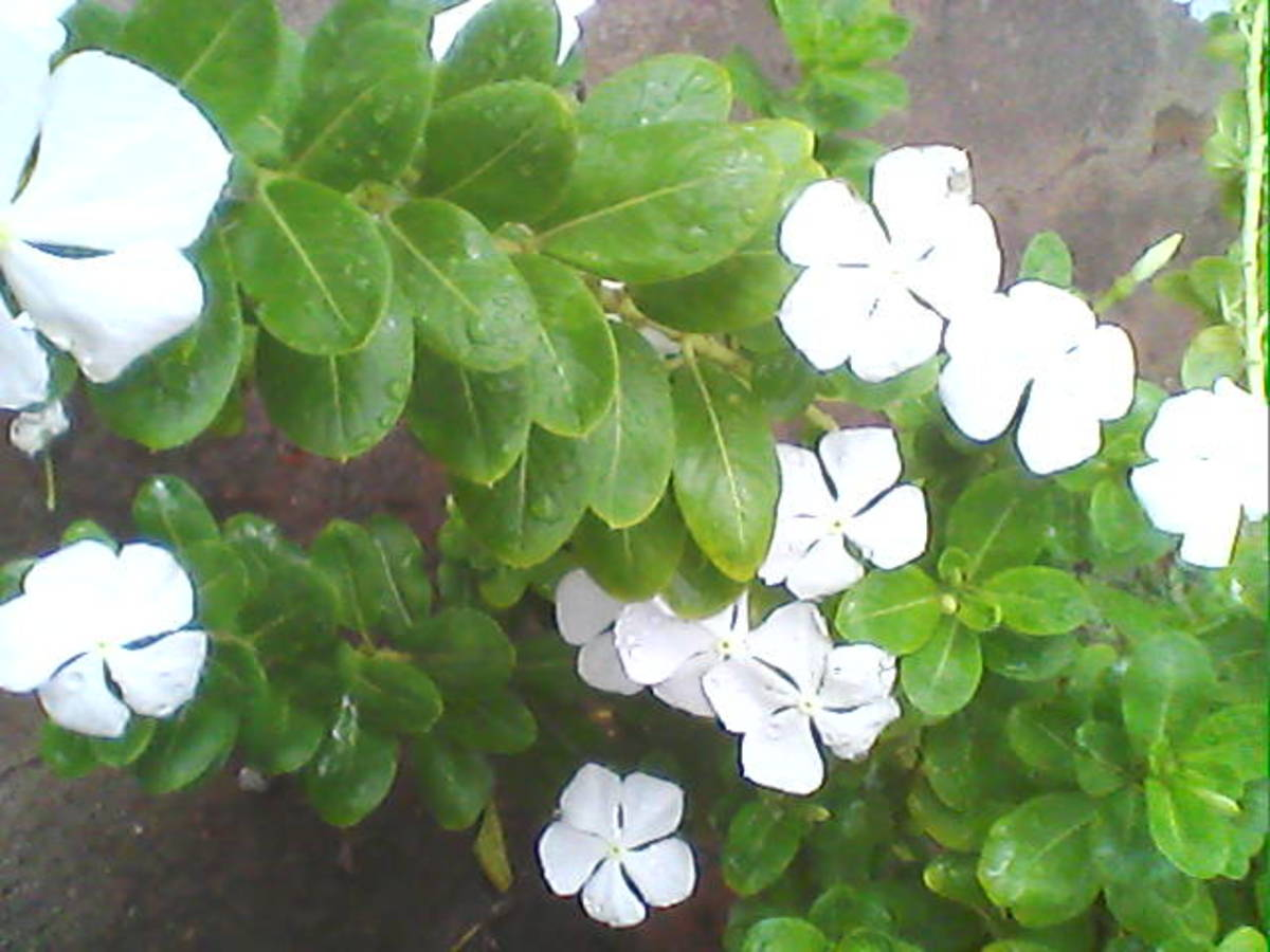 White-colored flower variety of Catharanthus roseus