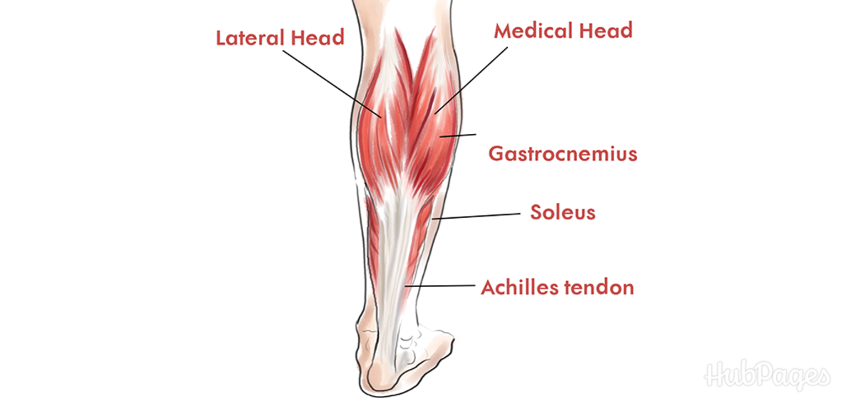 A diagram of the calf's major muscles.