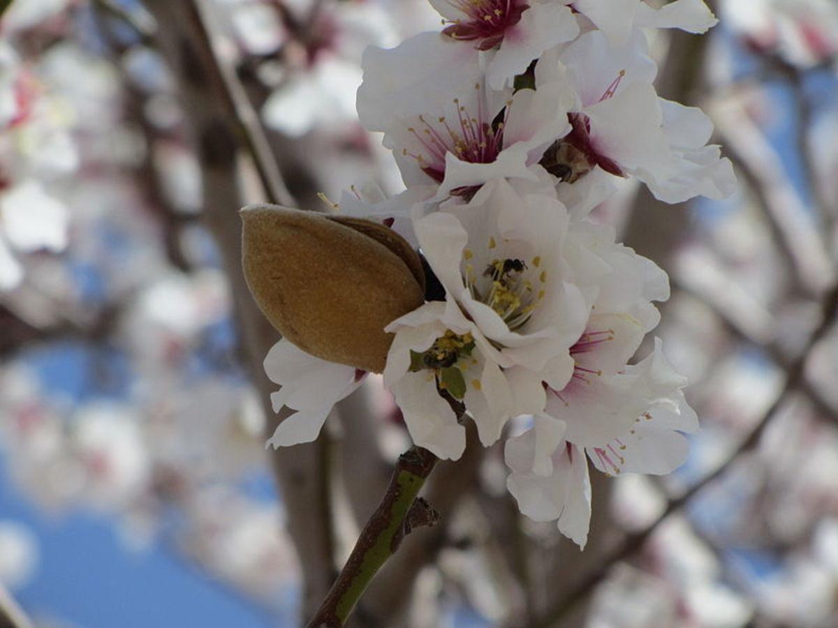 Ripe almond on tree.