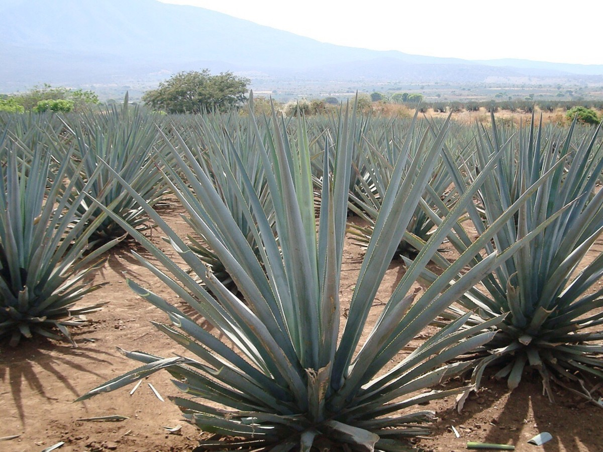 The blue agave plant is a good source of inulin. The plant is also used to make tequila.