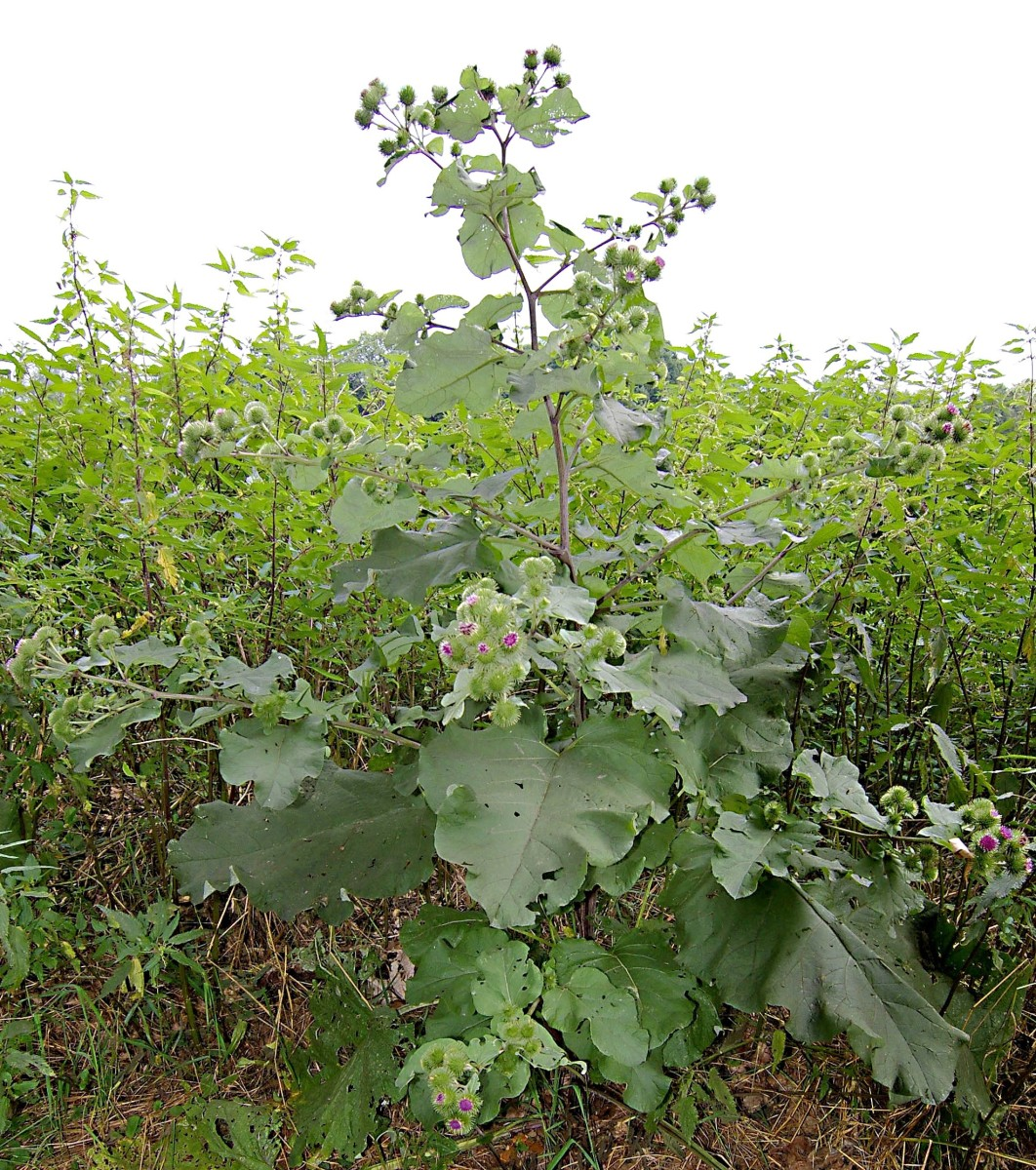 The root of the greater burdock contains inulin.