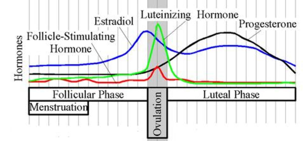 Estrogen dominance occurs in the first half of your menstrual cycle - usually Day 1 to 14 on a 28-day cycle.