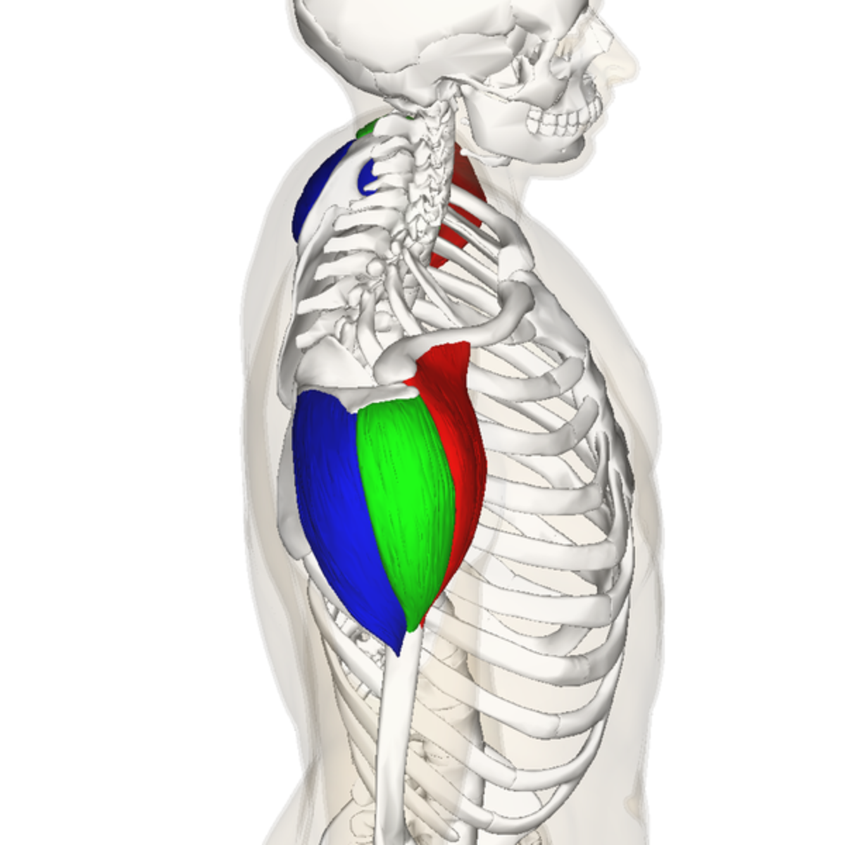Diagram showing the three heads of the deltoid muscle. The posterior deltoid is blue, the lateral deltoid is green, and the anterior deltoid is red.
