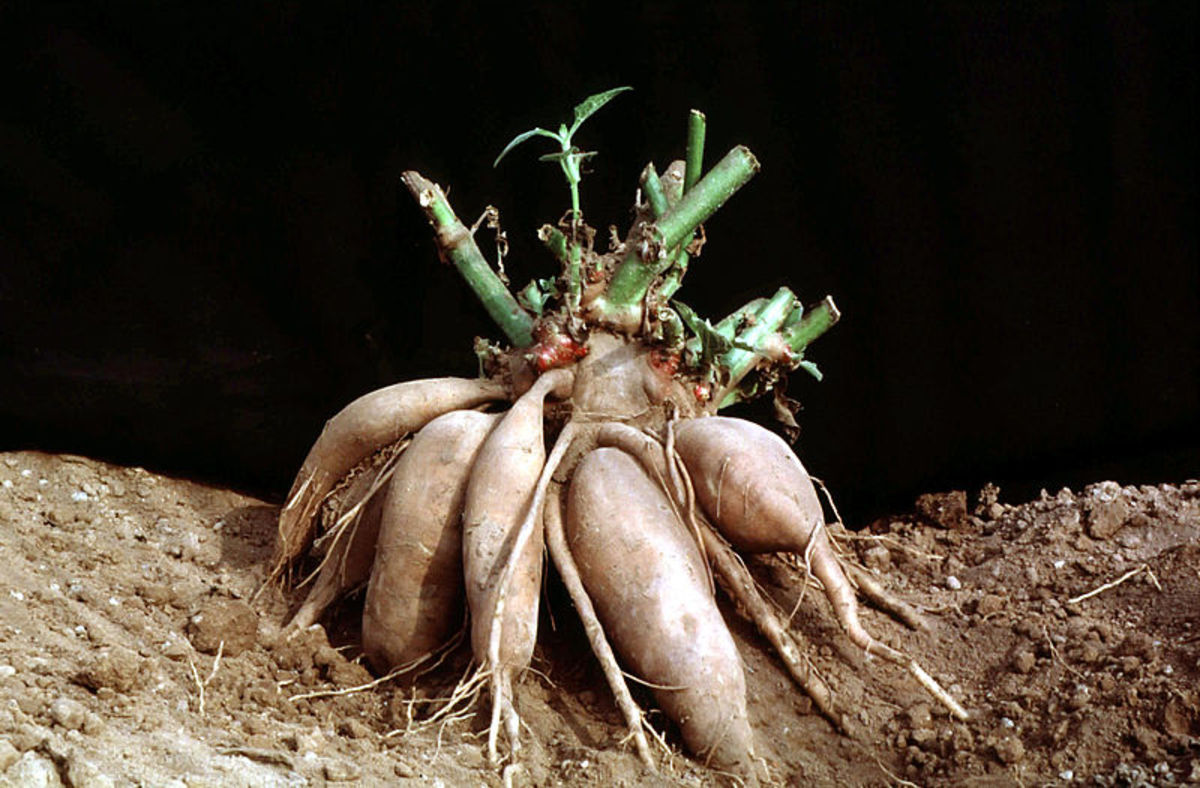 Yacon rootstock with storage roots, Peru