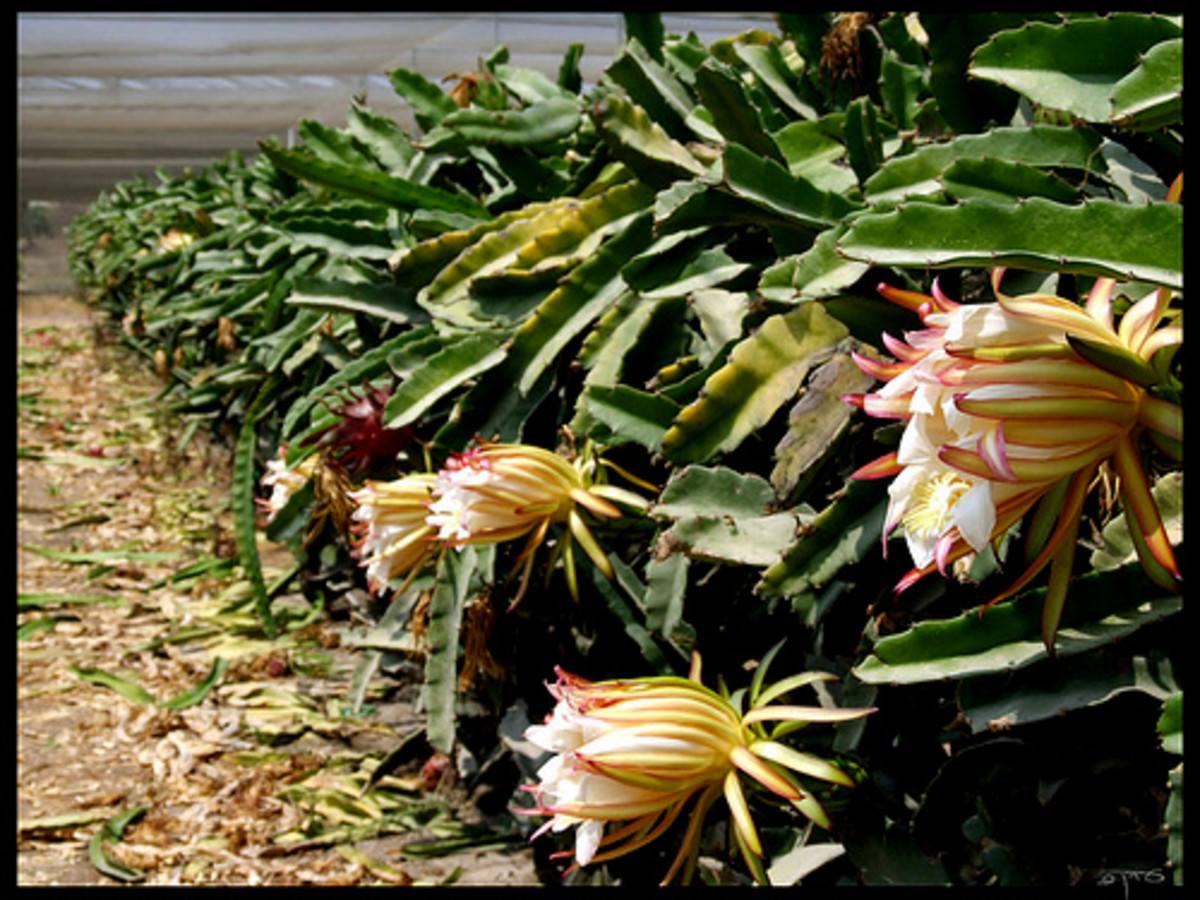 Pitaya or Dragon fruit tree during flowering stage