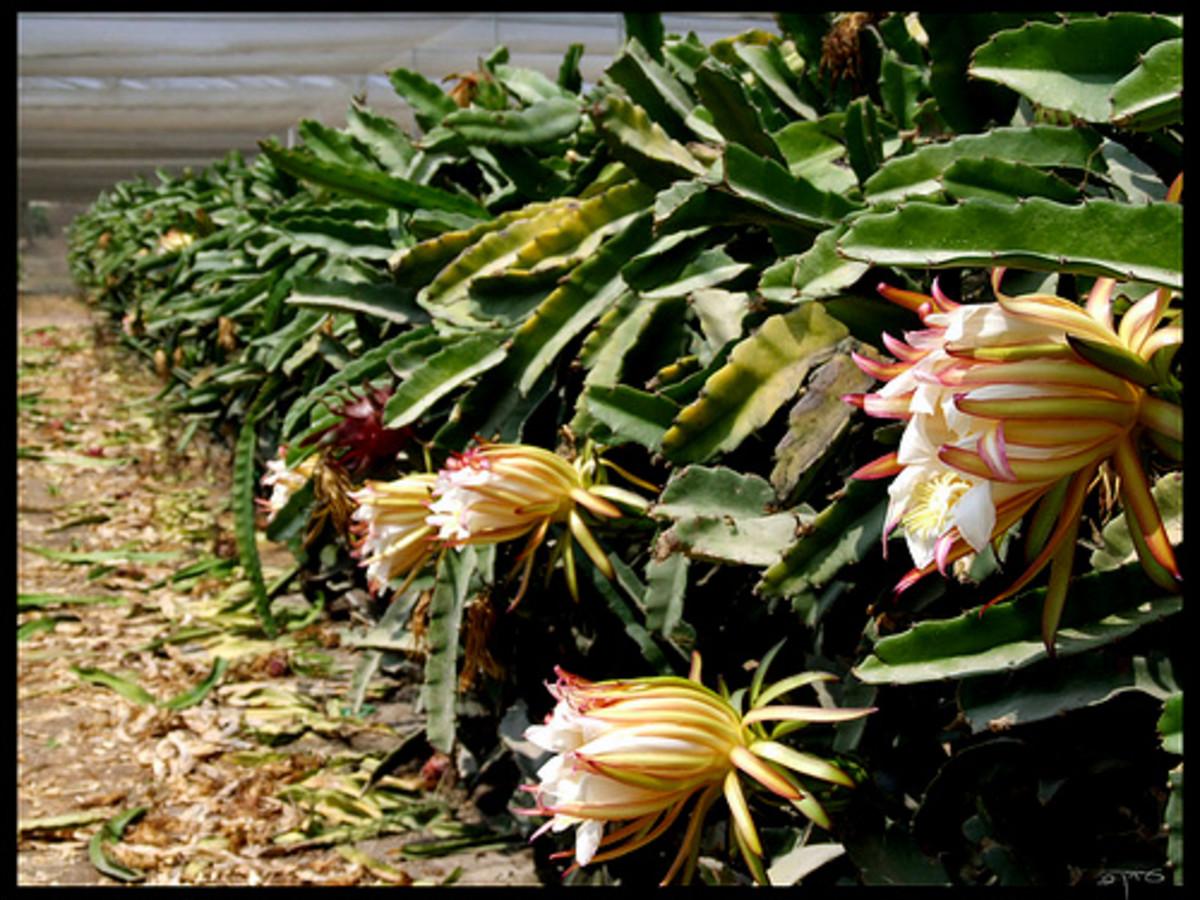 Pitaya or Dragon fruit tree during flowering stage