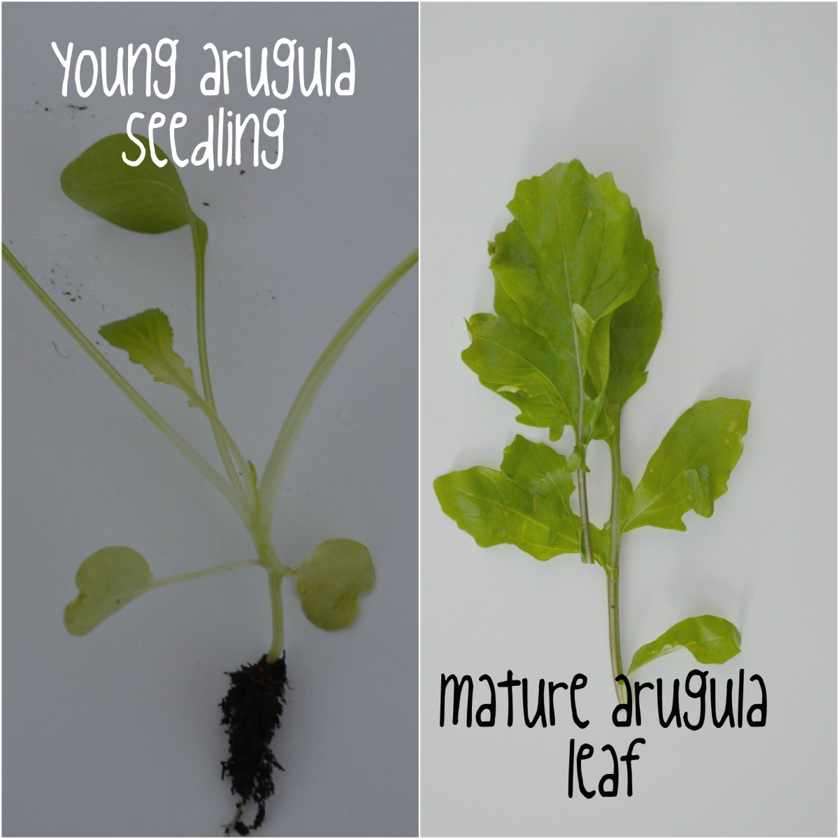 A side-by-side comparison of a young arugula seedling and a mature arugula leaf, which illustrates the round leaves of the young plant versus the lobular, dandelion-leaf shaped mature rocket leaf.