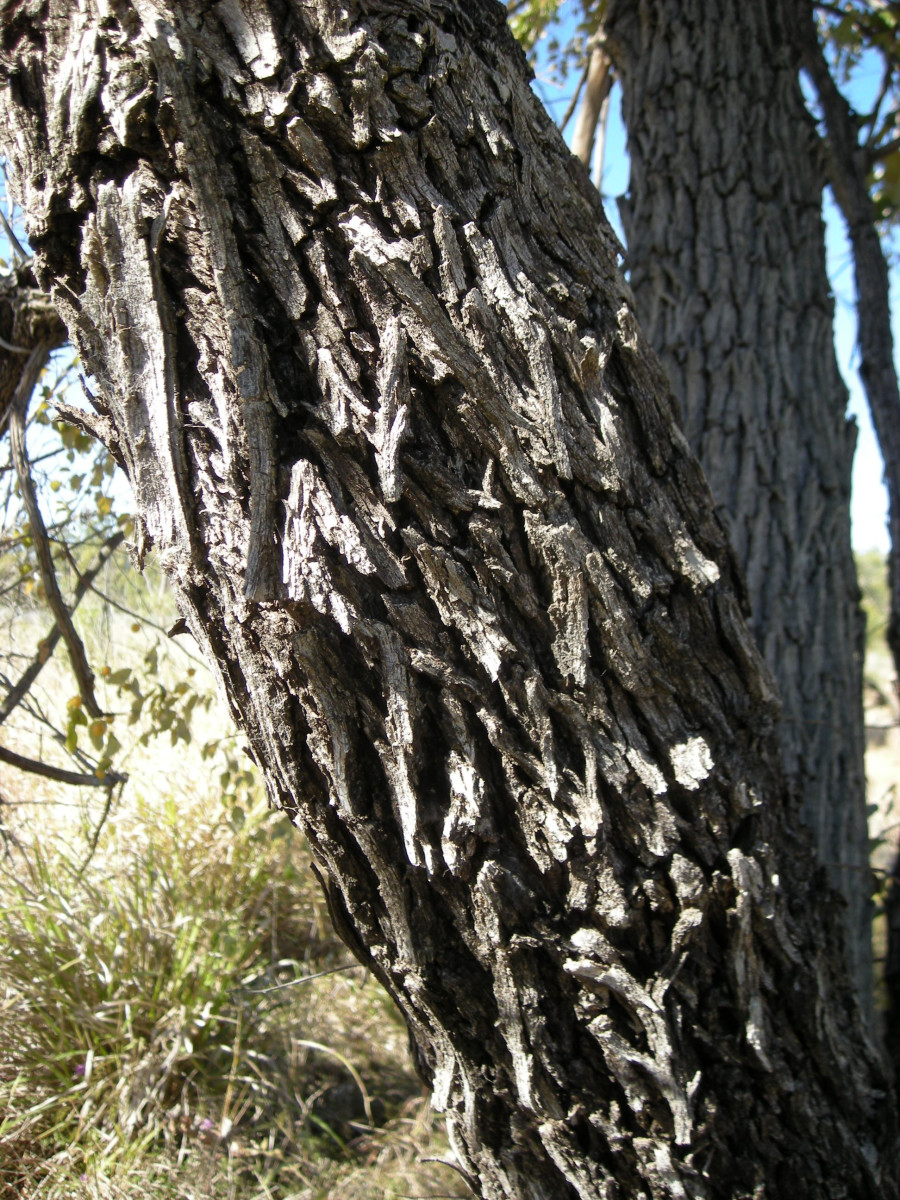 Bark Of The Ber Tree