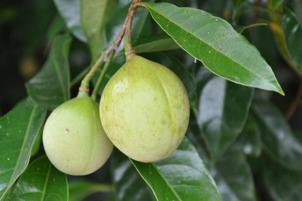 Nutmeg tree fruit.