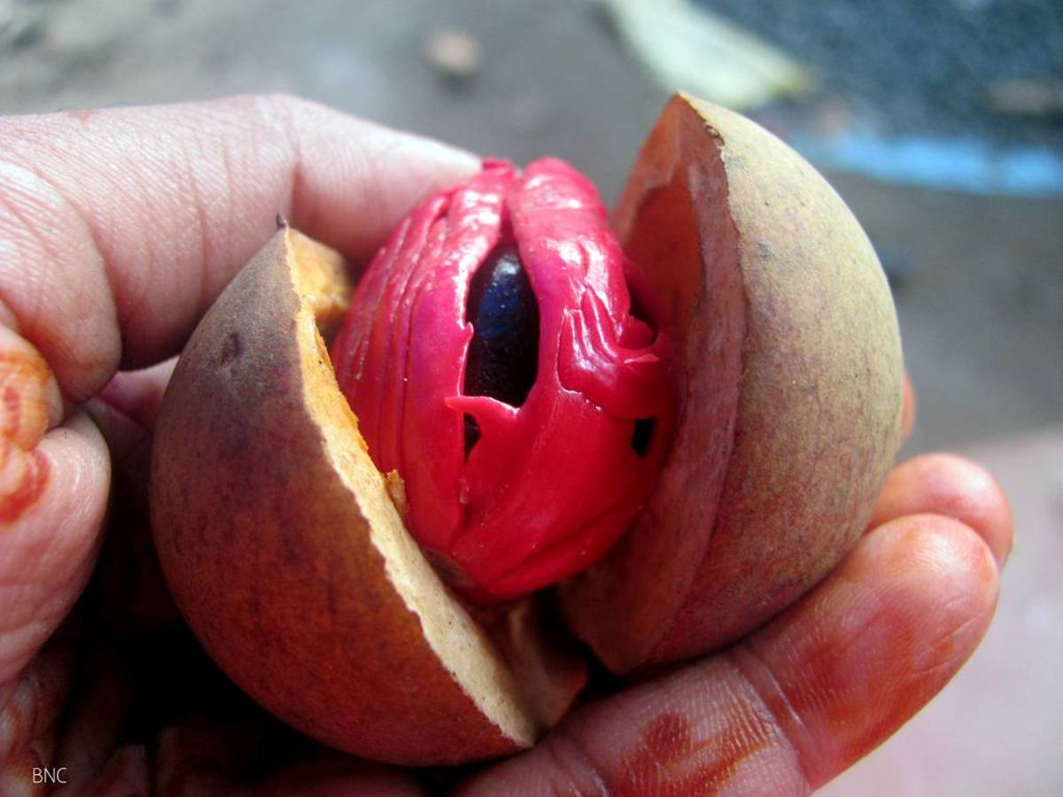 The opened nutmeg fruit, with the mace enclosing the seed.