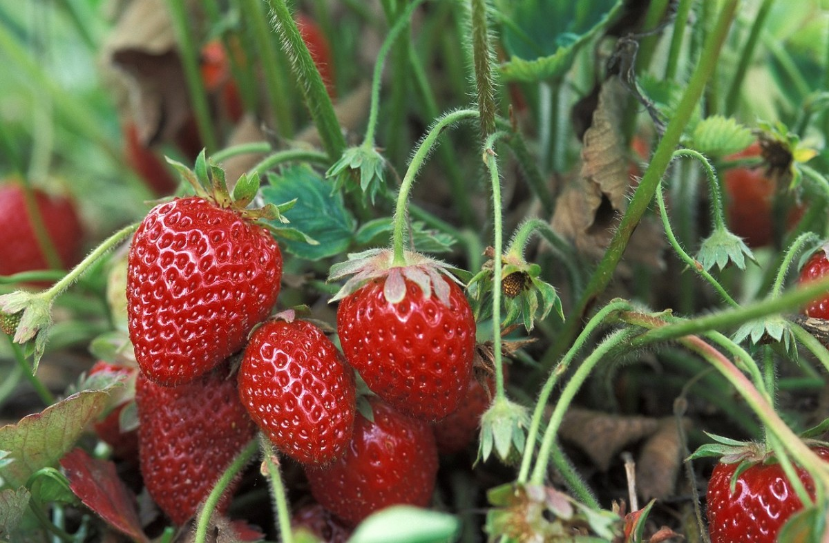 Strawberries are on the list of top ten fruits and veggies with high levels of pesticide residue on them. Whenever possible, buy organically grown strawberries if you want to eat healthier.