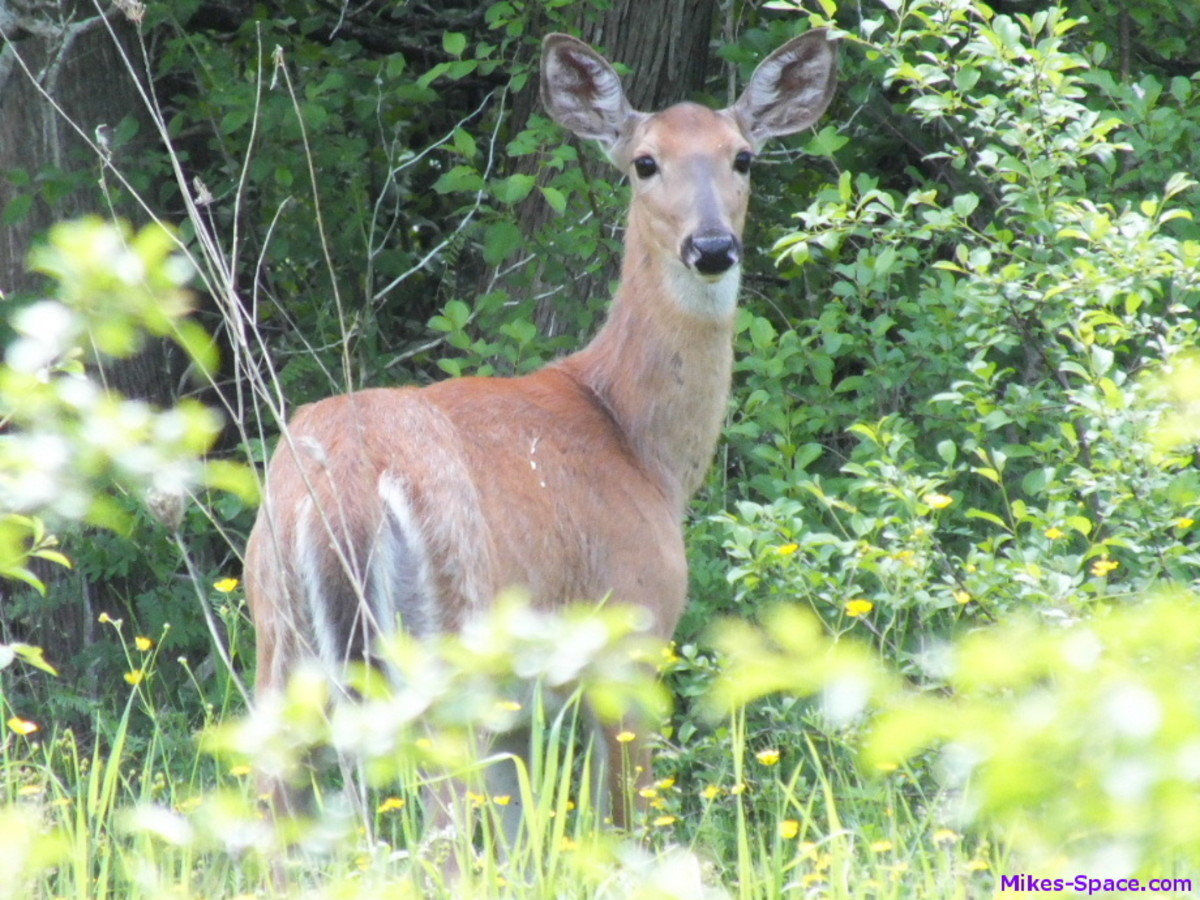Picture of a white-tailed deer taken while biking in a provincial park.