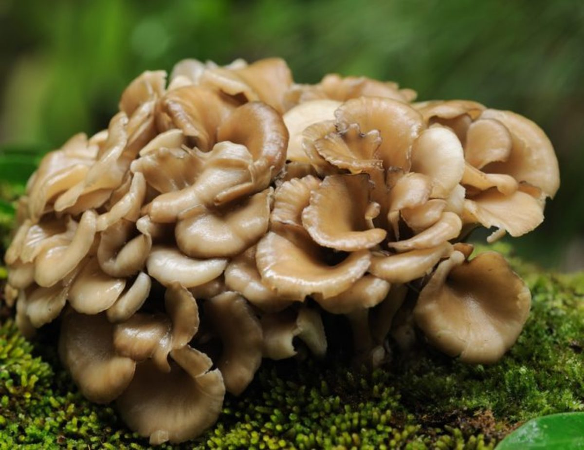 Maitake mushrooms have been associated with cancer prevention.