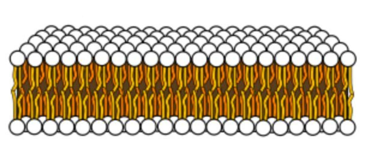 "Figure 14: Drawing of a membrane White circles represent phosphate groups. Orange and yellow lines represent fatty acids. Modified from ""Phospholipid aqueous solution structures"" by LadyofHats, which is in the  public domain."