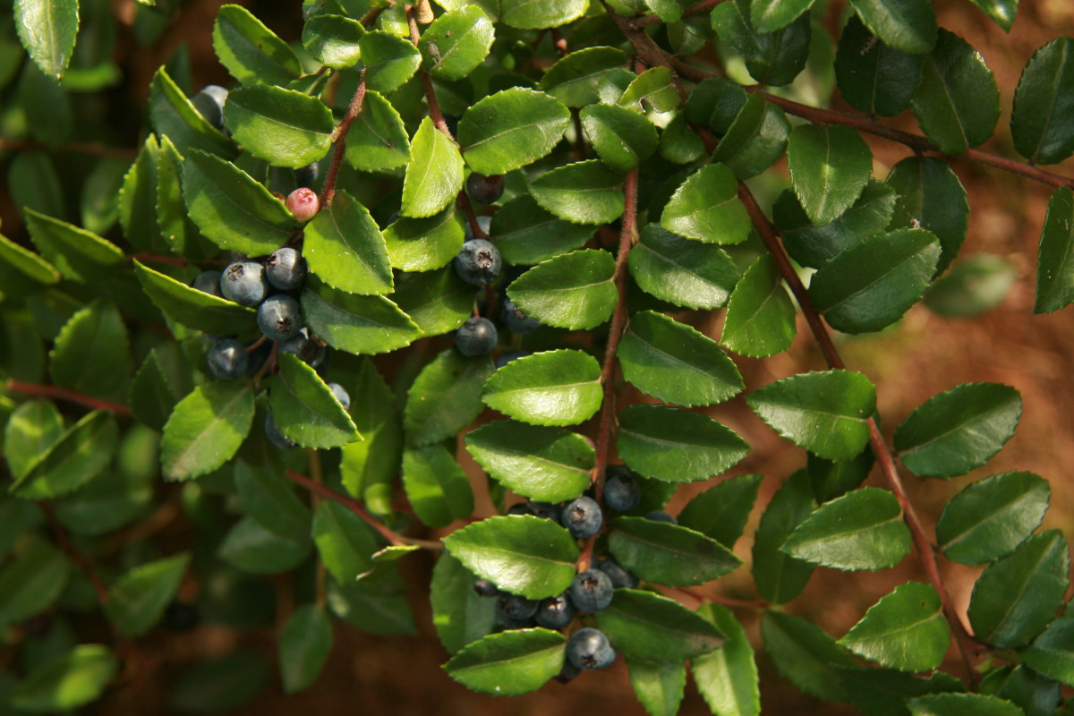 evergreen huckleberries