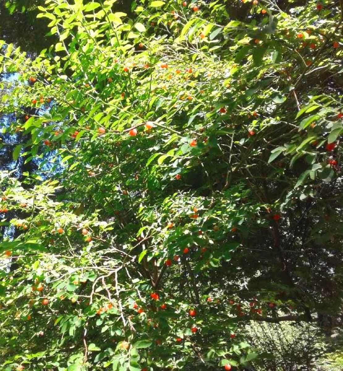 red berries begging to be picked
