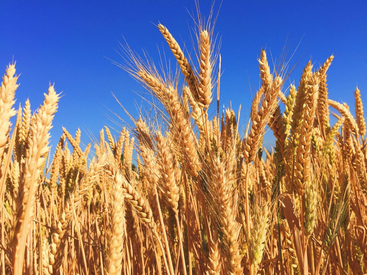 Some grains cause inflammation and irritation to the intestinal lining, leading to leaky gut and disease.