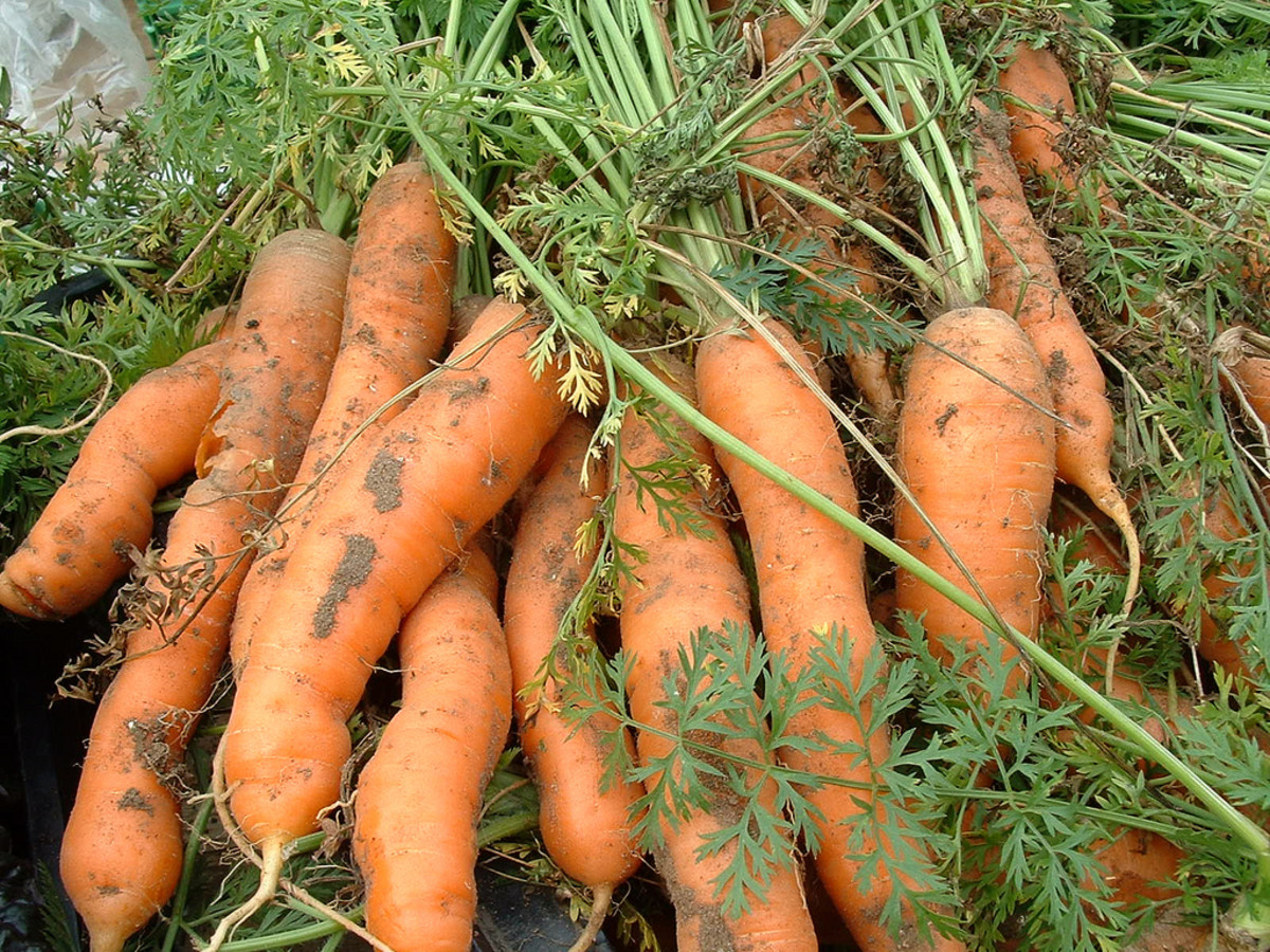 Carrots are a good source of beta carotene.
