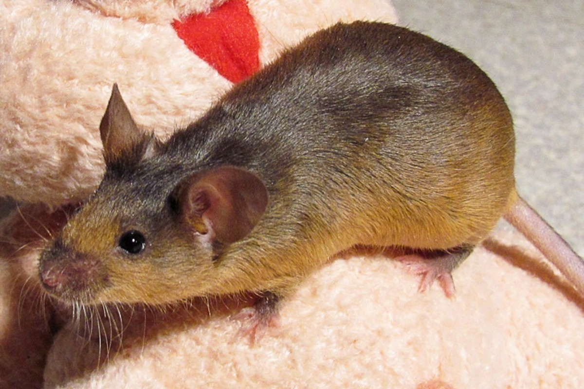 Like rats, mice are often used in lab experiments. This is a pet mouse.