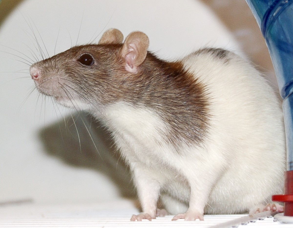 The effects of polyphenols have been studied in rats. The use of the animals in labs is controversial.