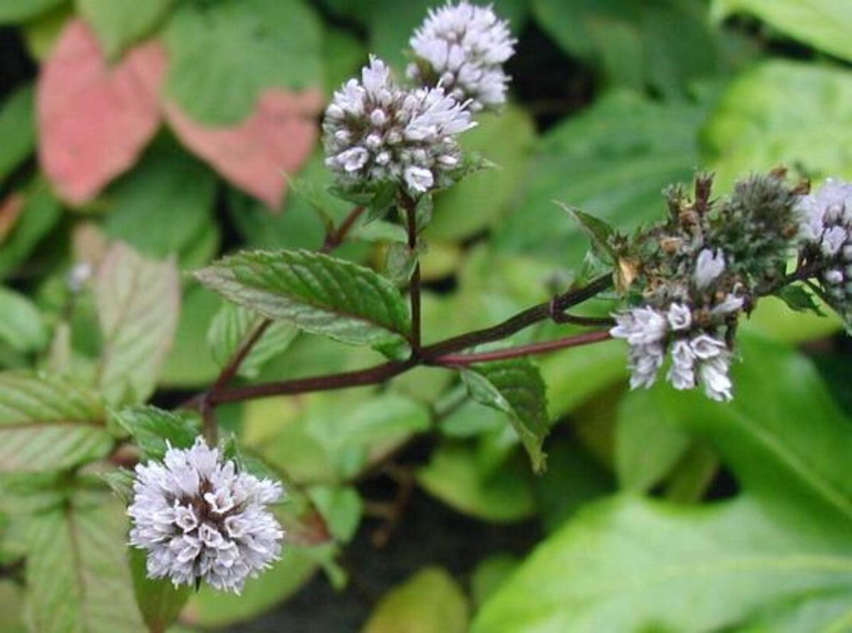 12 Surprising Health Benefits of Peppermint