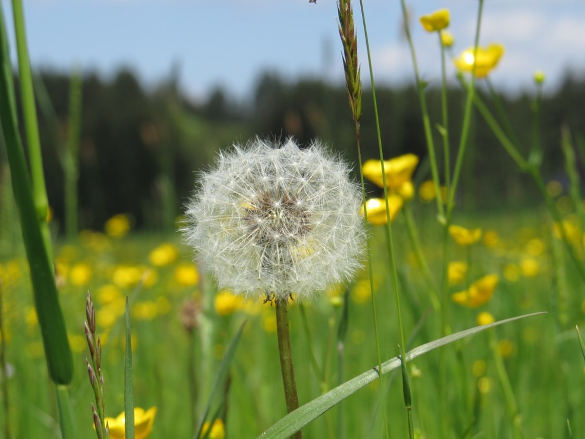Dandelion seeds and buttercups