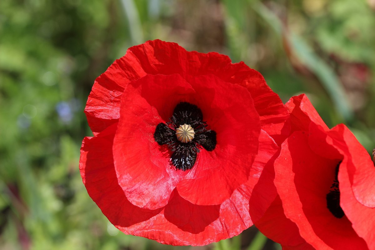 The poppy is becoming a more shared symbol in Northern Ireland, but it is still predominantly a Protestant tradition to wear a poppy in November.