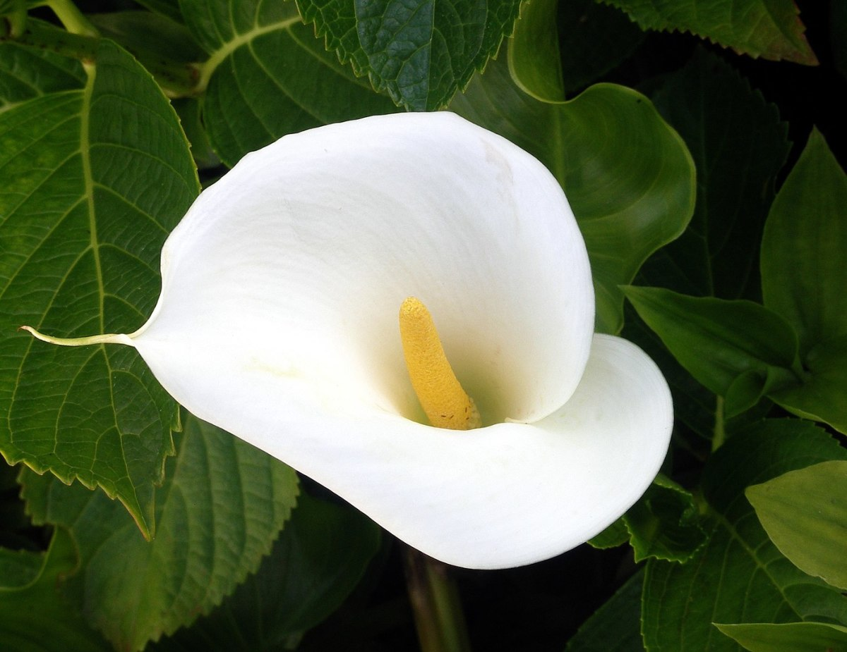 The Easter Lily commemorates those who died fighting for Irish independence at Easter in 1916.