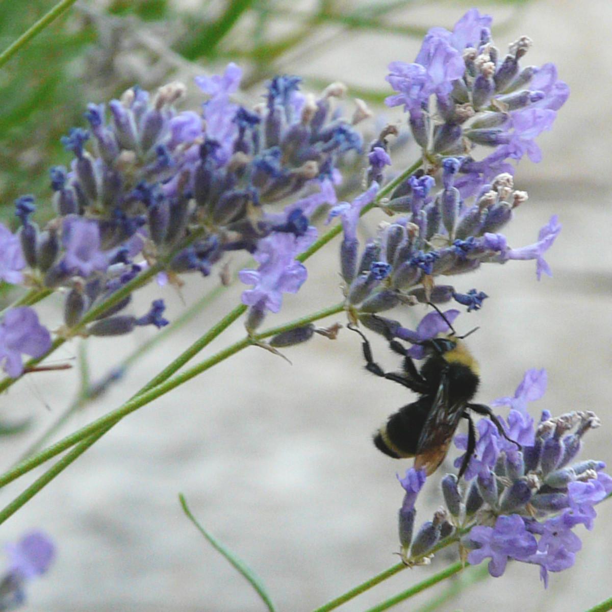 Wild Bee on Lavender