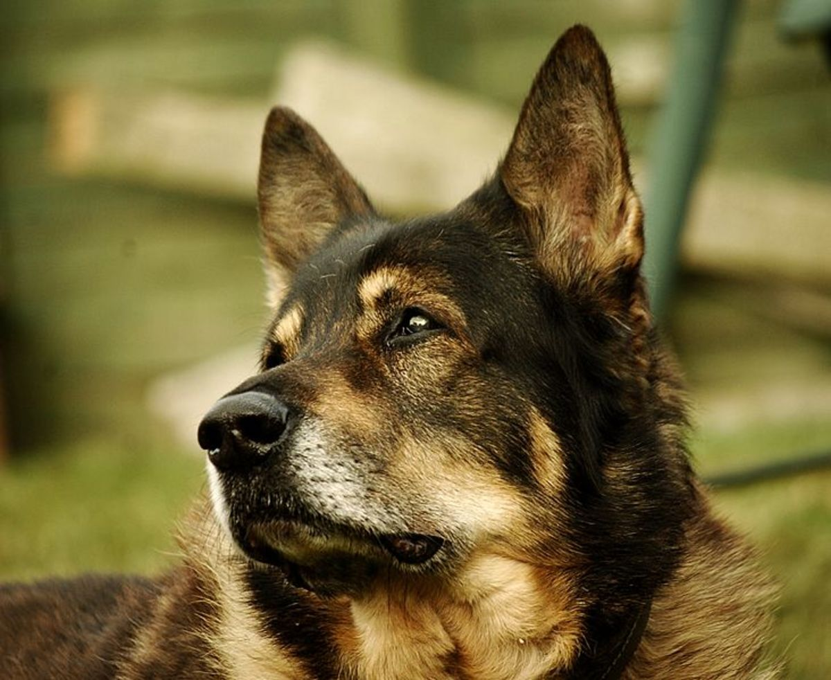 The German Shepard also suffered due to this syndrome.