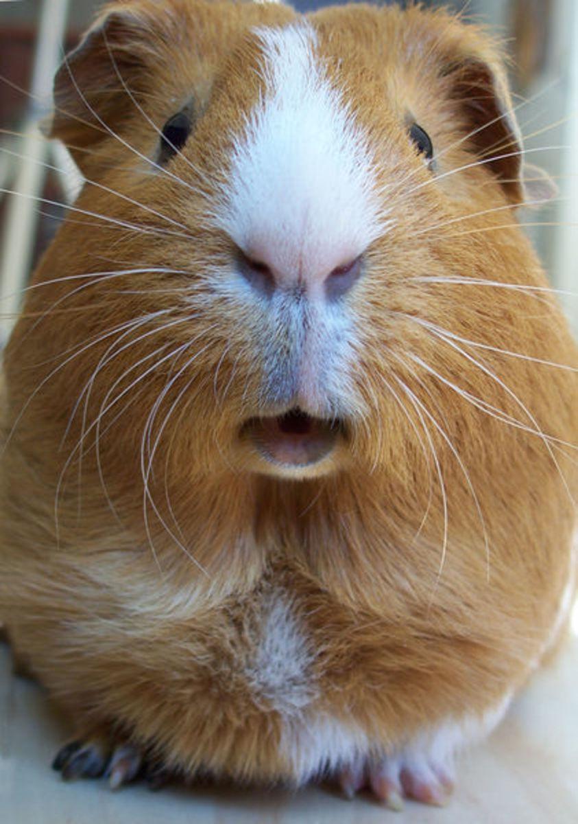No, guinea pigs can't do martial arts.