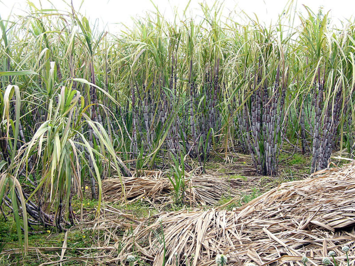 Sugar cane is another crop that contains ethanol. Brazil is already growing sugar cane across million of acres turning it into bio fuel. In terms of bio fuel production, it's decades ahead of the US and Western Europe.