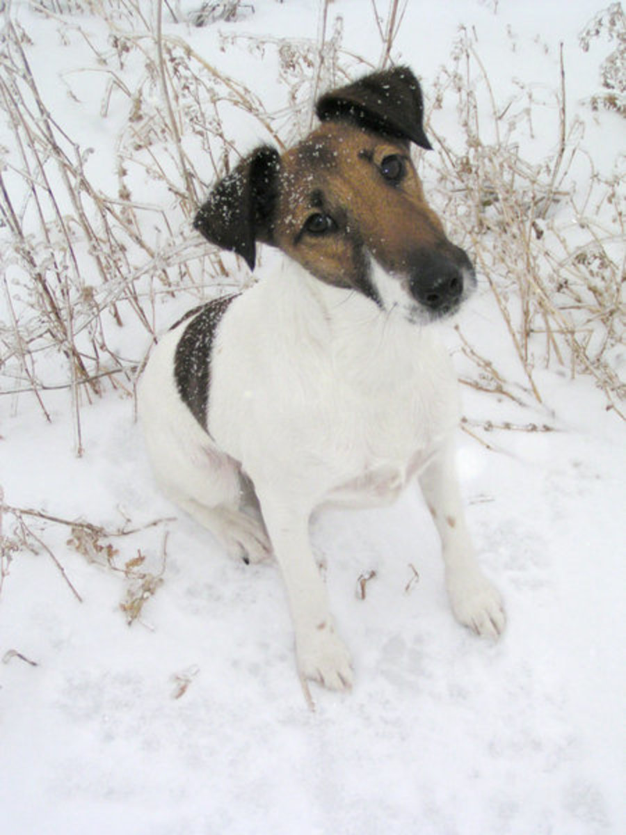 Smooth fox terrier dog breed.