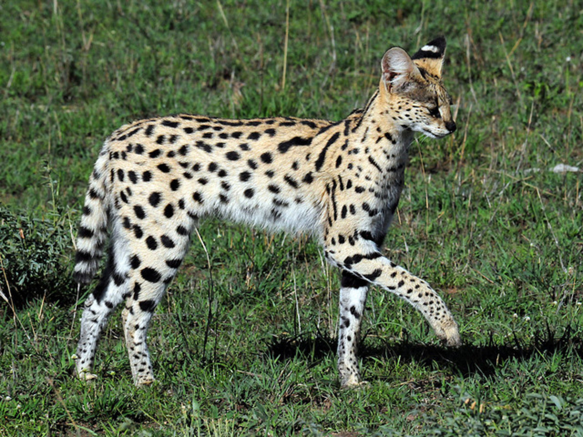 A serval in the wild