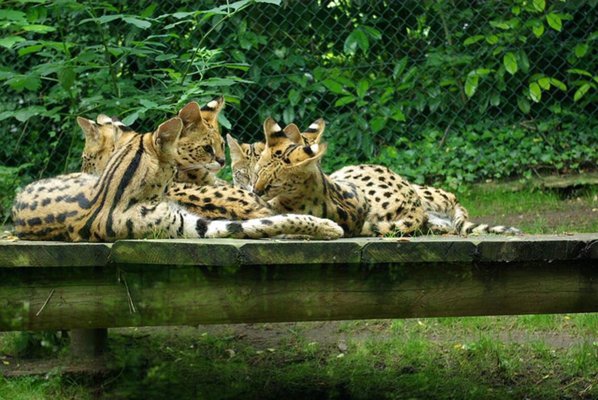 Servals in captivity