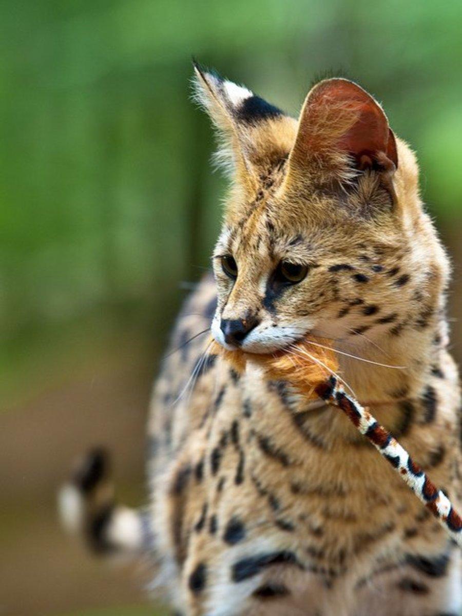 white-serval