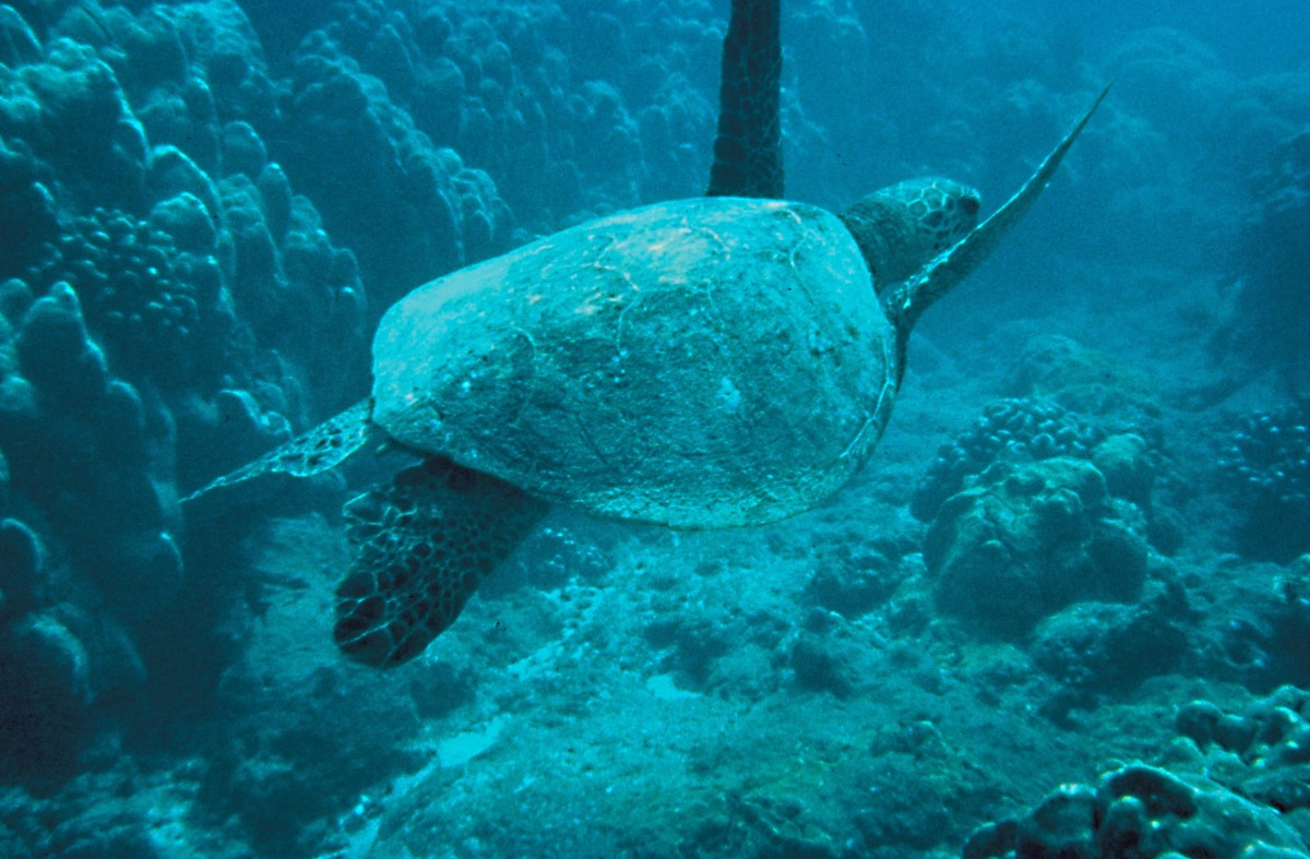 Turtles are especially susceptible to damage by plastic pollution in the ocean. This is a green turtle.