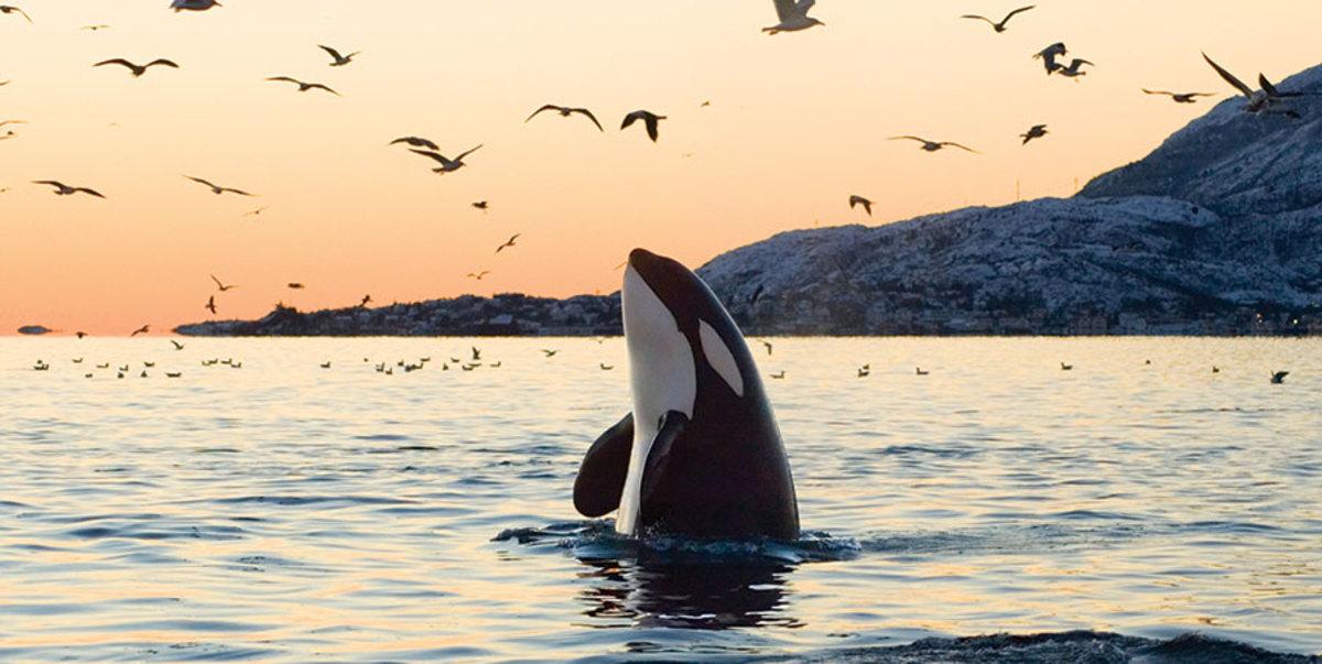 wild killer whales
