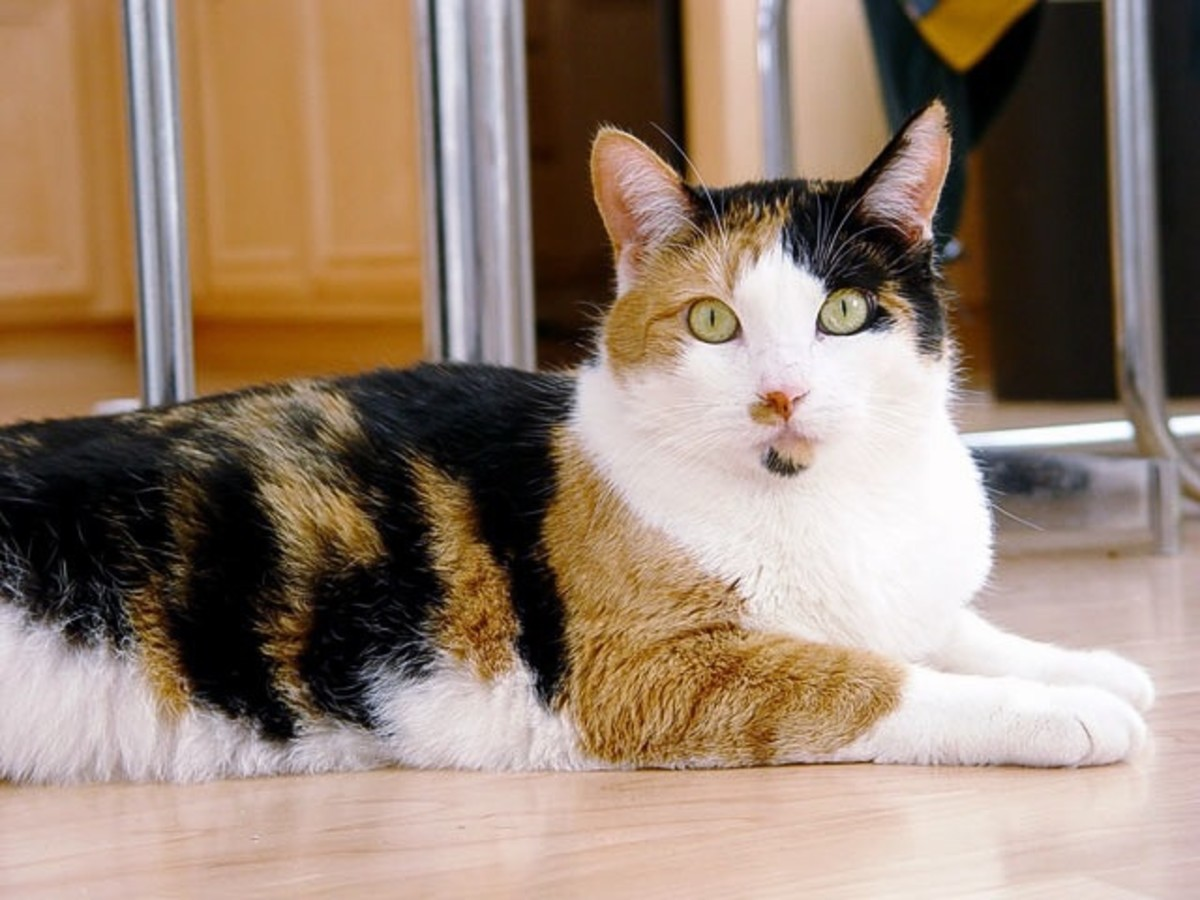 Some people can never see too many cat photos! This is Phoebe, a calico cat.