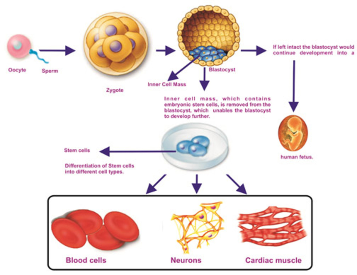 How a stem cell differentiates into various tissue types