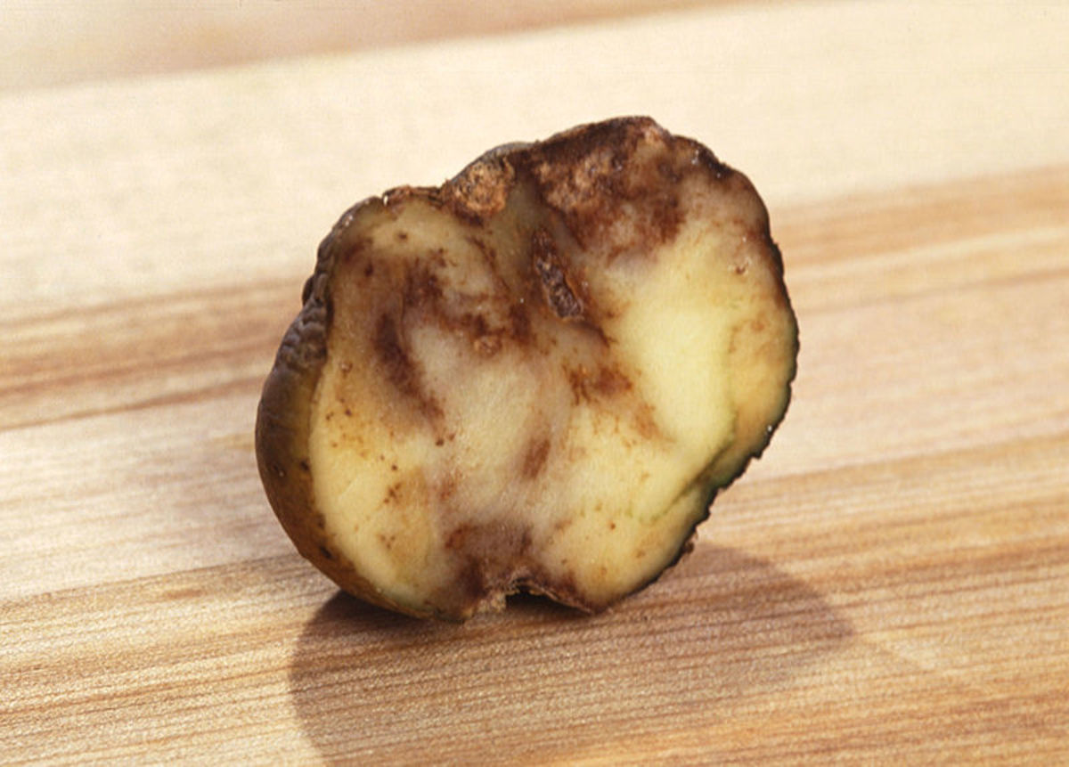 "The disease ""late blight"" ruins potatoes for eating. Irish Lumper was especially vulnerable to this disease, and was primarily responsible for the ""Great Irish Famine"" in 1846-48."