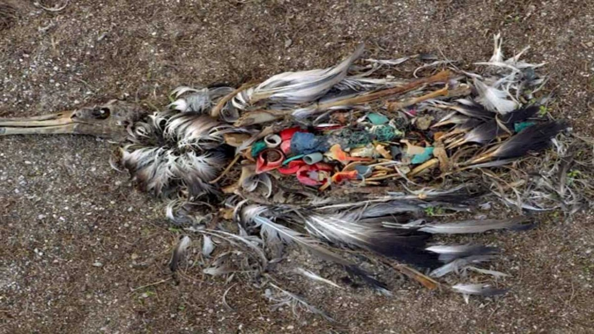 Dead albatross with plastic in its stomach