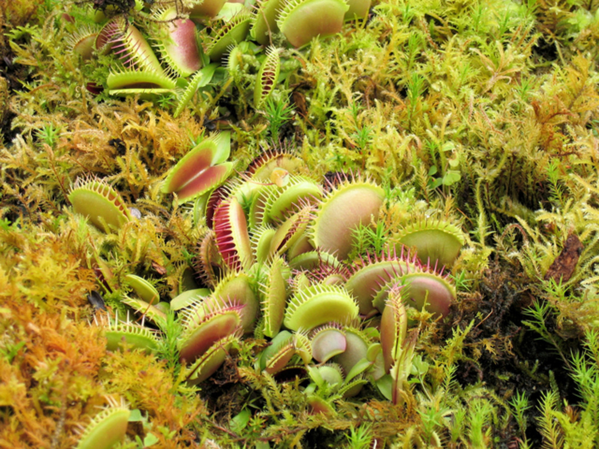 Venus Flytrap In The Wild