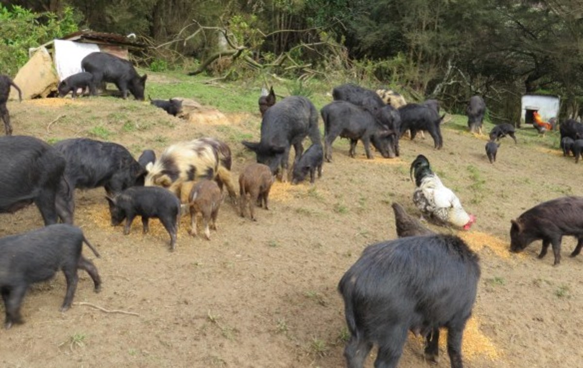 A feral pig in New Zealand