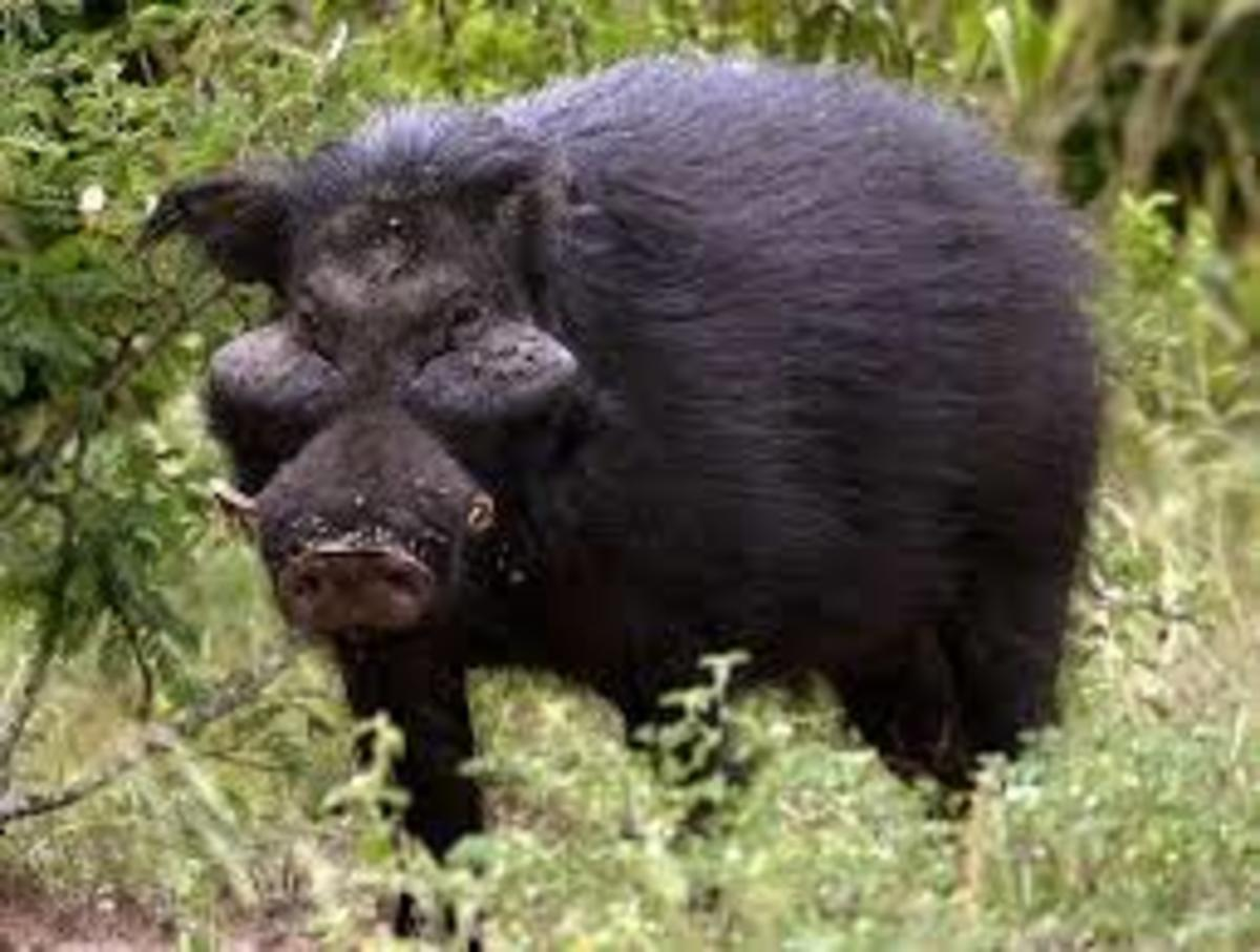 A rather ugly feral hog